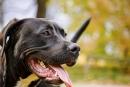 """Què s'ha de saber sobre els gossos considerats """"potencialment perillosos""""?"""